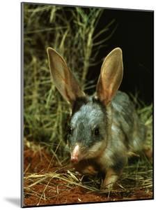 Bilby, Rabbit-Eared Bandicoot Central Australian Desert