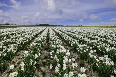 A Field of Daffodils in Bloom, Norfolk, England, United Kingdom, Europe by Bill Allsopp