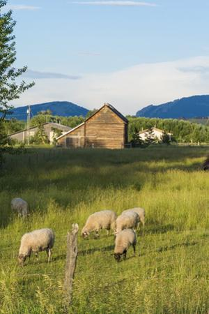 Bozeman, Montana, View of Sheep and Barn in Beautiful Green Fields by Bill Bachmann