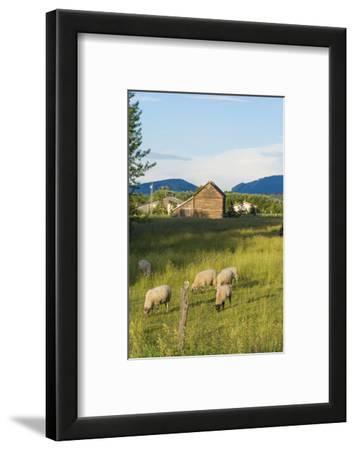 Bozeman, Montana, View of Sheep and Barn in Beautiful Green Fields
