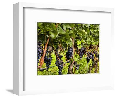 Close Up of Grapes at Hofkellerei Winery, Liechtenstein