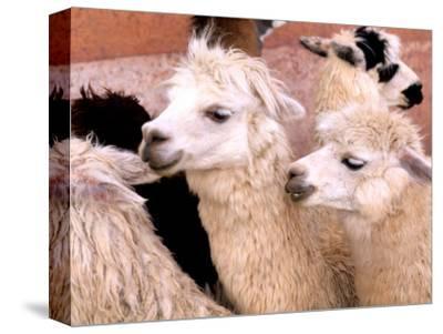 Close-up of Llamas, Cuzco, Peru