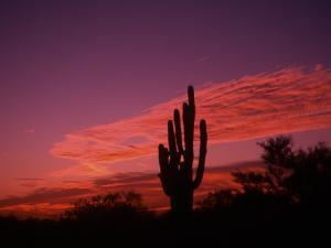 Colorful Cactus in the Sunset, Arizona, USA by Bill Bachmann