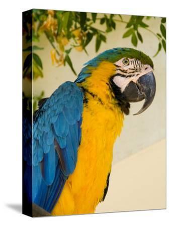 Colorful Macaw Bird, Chichicastenango, Guatemala