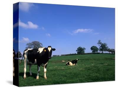 Farmland with Cows near Dublin, Ireland
