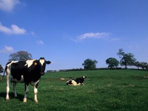 Farmland with Cows near Dublin, Ireland by Bill Bachmann
