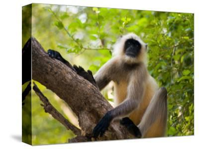 Monkey in Jungle of Ranthambore National Park, Rajasthan, India