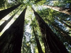 Old Redwood Trees, Muir Woods, California, USA by Bill Bachmann