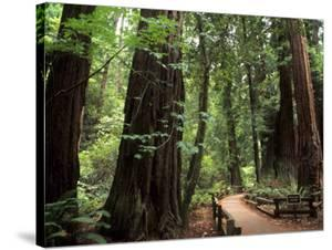 Old Redwood Trees, Muir Woods, San Francisco, California, USA by Bill Bachmann
