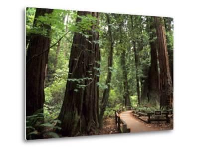 Old Redwood Trees, Muir Woods, San Francisco, California, USA
