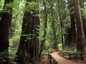 Old Redwood Trees, Muir Woods, San Francisco, California, USA by Bill Bachmann