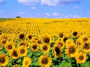 Wild Colors of Sunflowers, Jamestown, North Dakota, USA by Bill Bachmann