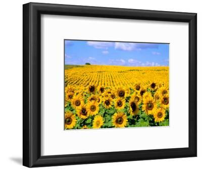 Wild Colors of Sunflowers, Jamestown, North Dakota, USA