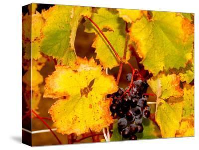 Wine Field, Chianti Region, Tuscany, Italy