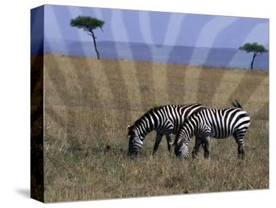 Zebra on the Serengeti, Kenya