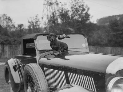 Dachshund sitting on the bonnet of Charles Mortimers Bentley, c1930s