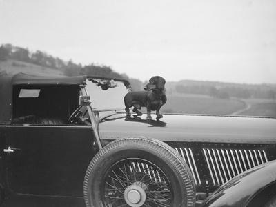 Dachshund standing on the bonnet of Charles Mortimers Bentley, c1930s