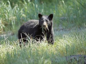 A Black Bear Makes a Meal of Fresh Grass by Bill Curtsinger
