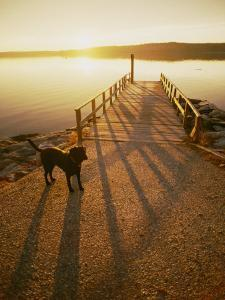 A Black Labrador Pauses by the Waterfront by Bill Curtsinger