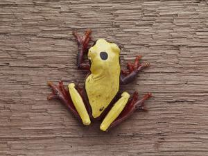 A Brightly Colored Tree Frog on a Piece of Wood by Bill Curtsinger