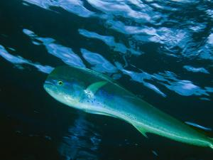 A Close View of a Dolphin Fish, Also Known as Mahi Mahi, Swimming in the Sea by Bill Curtsinger