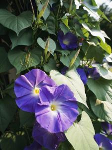 A Close View of a Heavenly Blue Morning Glory Flower and Vine by Bill Curtsinger