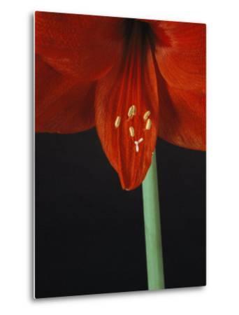 A Close View of an Amaryllis Flower