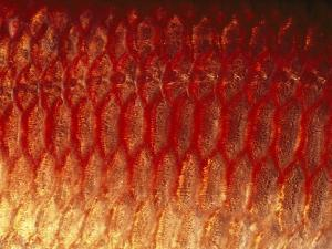 A Close View of the Scales of a Squirrel Fish by Bill Curtsinger
