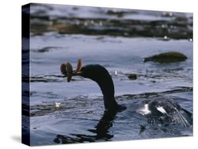 A Cormorant Eats an Eel in a Kelp Bed