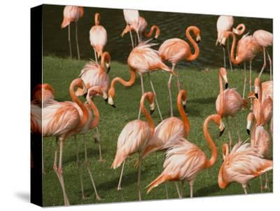 A Flock of Flamingos at the Waters Edge