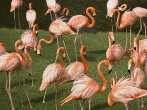 A Flock of Flamingos at the Waters Edge by Bill Curtsinger