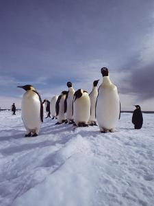 A Group of Emperor Penguins, Aptenodytes Forsteri, Standing on Ice by Bill Curtsinger