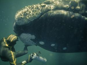 A Movie Photographer Keeps His Camera Out of the Way of a Right Whale by Bill Curtsinger