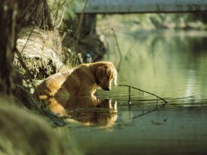 A Pet Dog Sits in the Shallow Water of a Creek by Bill Curtsinger