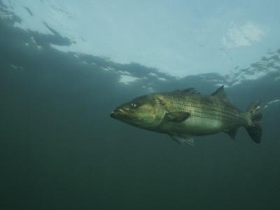 A Striped Bass, Morone Saxatilis, Swims off the Coast by Bill Curtsinger