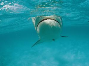 A Tiger Shark Swims in the Ocean by Bill Curtsinger