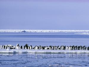 Adelie Penguins, Pygoscelis Adeliae, Cluster Together on an Ice Floe by Bill Curtsinger