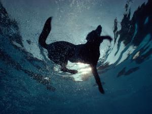 An Underwater View of a Black Labrador Retriever Swimming by Bill Curtsinger