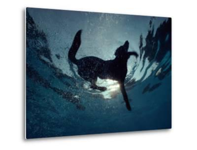 An Underwater View of a Black Labrador Retriever Swimming