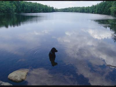 Black Lab Named Blackie Sits in a Woodland Lake