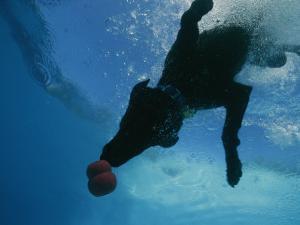 Black Lab Retrieves a Toy Underwater by Bill Curtsinger