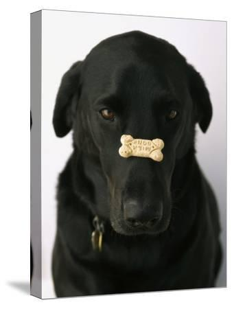 Black Lab with a Dog Biscuit on His Nose