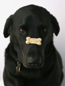Black Lab with a Dog Biscuit on His Nose by Bill Curtsinger