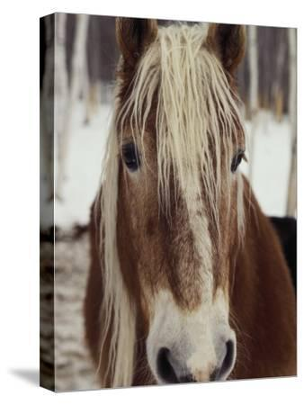 """Close View of a Horse Named """"King"""" in Winter"""