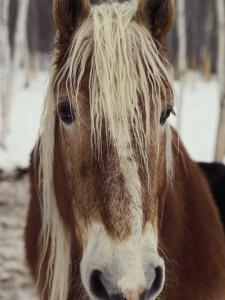 """Close View of a Horse Named """"King"""" in Winter by Bill Curtsinger"""