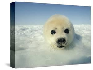 Harp Seal Pup by Bill Curtsinger