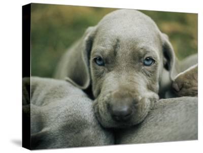 Portrait of a Weimaraner Puppy with Litter Mates