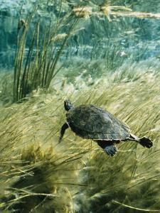 Rare Suwannee Cooter Turtle Swims through Clear Florida Waters by Bill Curtsinger