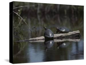 Red Bellied Turtles Sun on a Log by Bill Curtsinger
