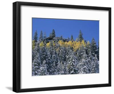 Snow-Covered Evergreen Trees